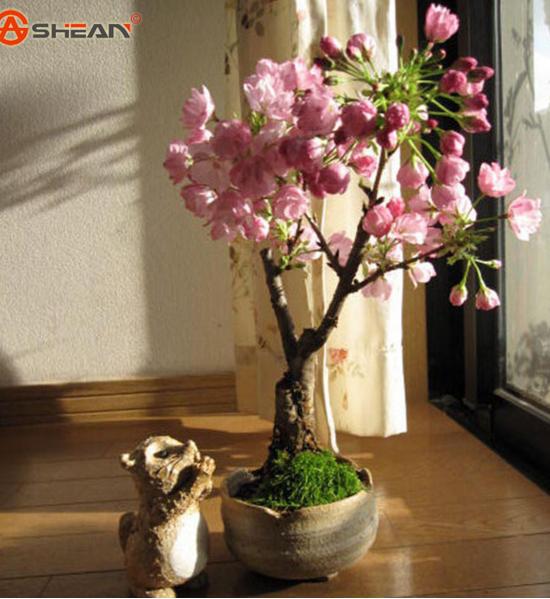 Japanese sakura seeds cherry blossoms seeds japanese cherry cerasus yedoensis - Romanian cherry tree varieties ...